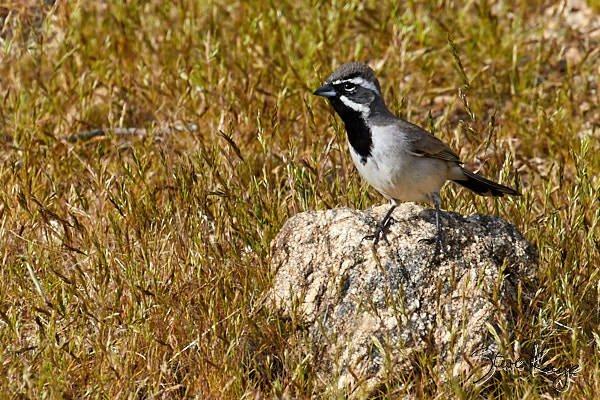 Black-throated Sparrow, © Photo by Steve Kaye