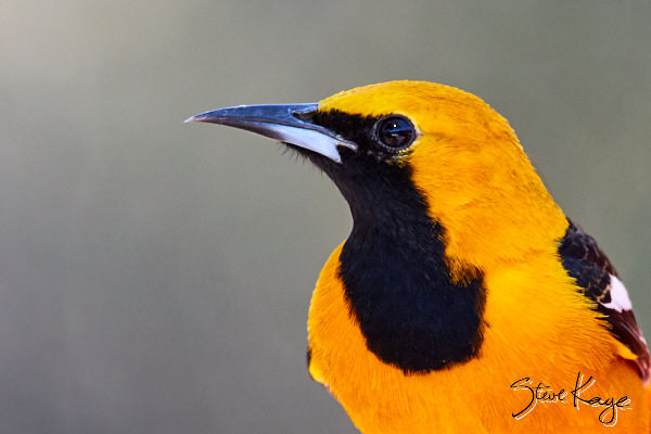 Hooded Oriole, Male, © Photo by Steve Kaye