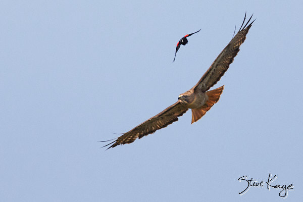 Red-tailed Hawk and Red-winged Blackbird, Male, (c) Photo by Steve Kaye, in blog post Profile in Courage
