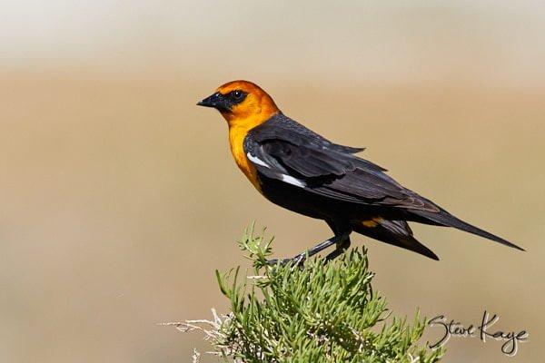 Yellow-headed Blackbird, Male, © Photo by Steve Kaye