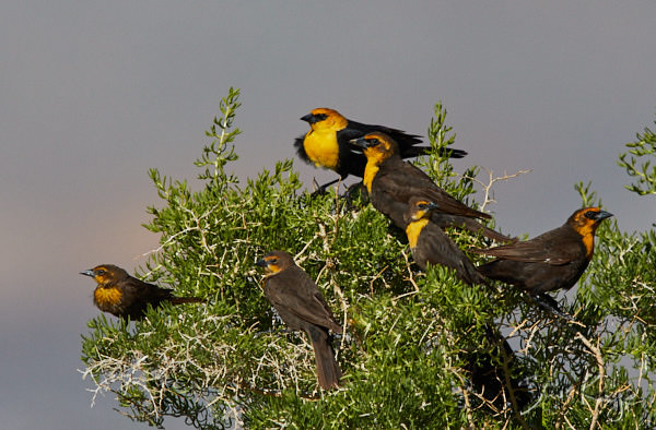 Yellow-headed Blackbirds, © Photo by Steve Kaye, in blog, Vacation for the Birds