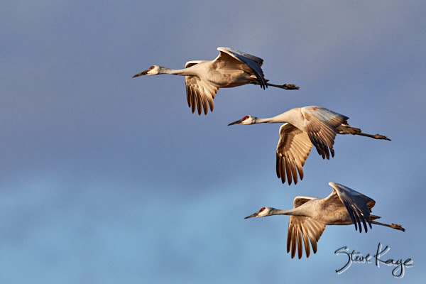 Sandhill Crane, © Photo by Steve Kaye, Article about Teamwork