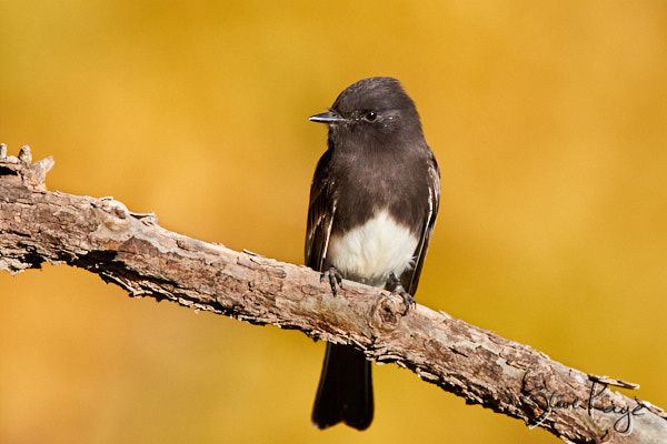 Black Phoebe, © Photo by Steve Kaye, blog post: Seasons with a Black Phoebe