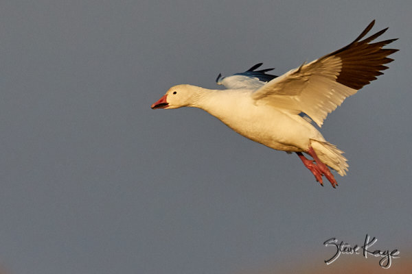 Snow Goose, © Photo by Steve Kaye, in article: I Have a Dream