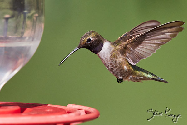 Black-chinned Hummingbird, © Photo by Steve Kaye, in blog post: Feed Hummingbirds