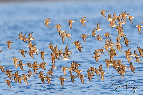 Western Sandpiper, © Photo by Steve Kaye, in blog post: Business Innovation by Birds