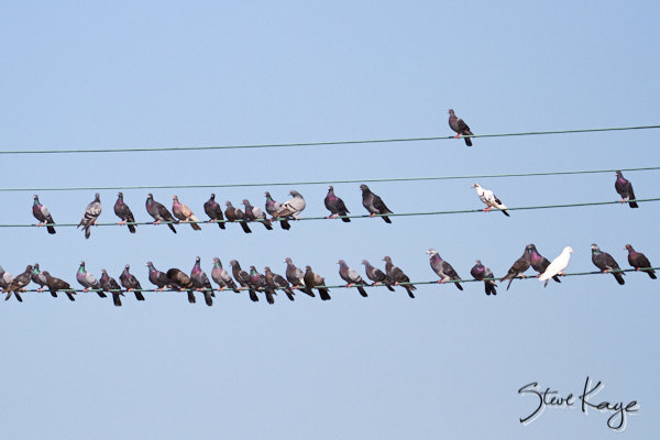 Rock Pigeon, © Photo by Steve Kaye, in blog post: Business Innovation by Birds