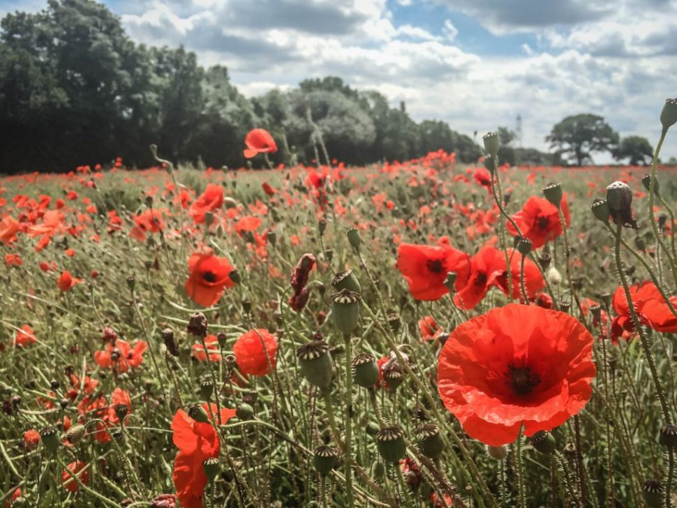North Yorkshire Poppy Field 2