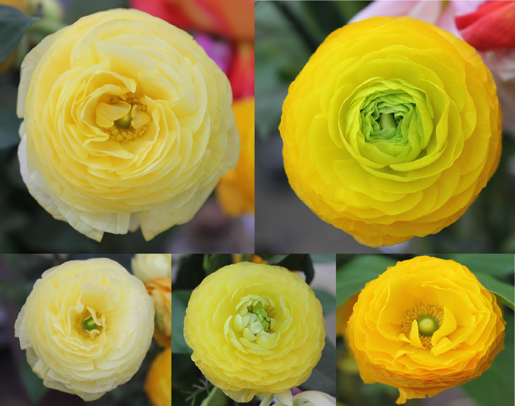 Ranunculus  Stevens and Son Wholesale Florist