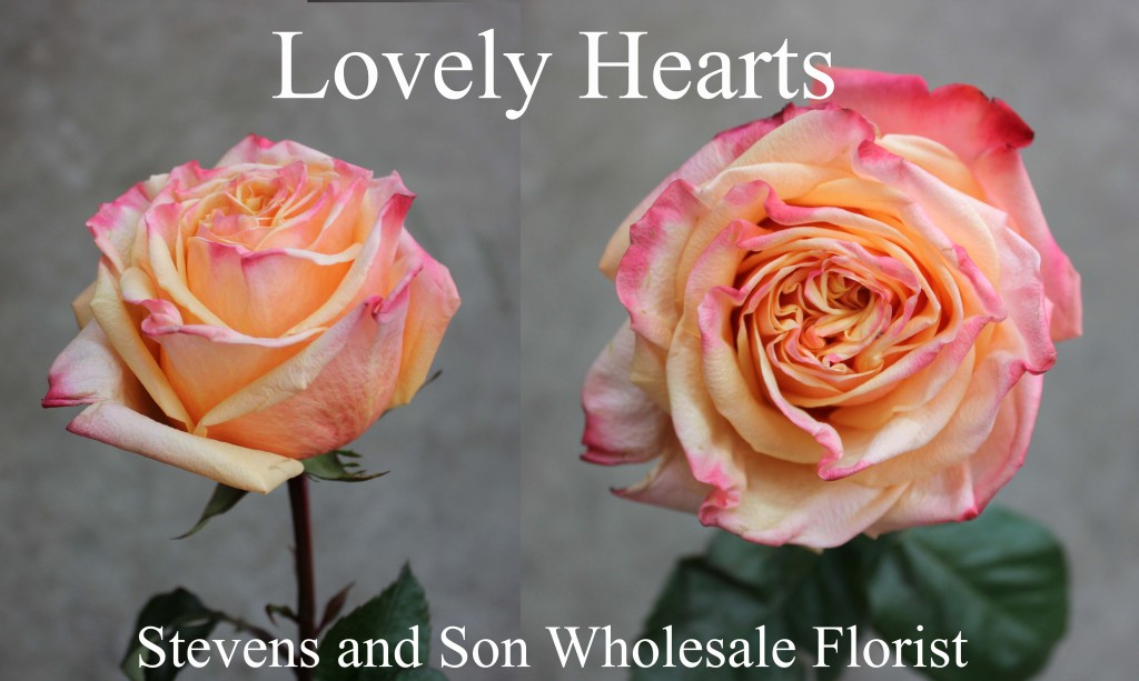 Roses Color Stevens And Son Wholesale Florist