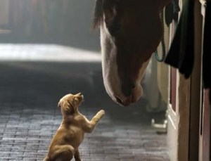 budweiser puppy and clydesdale