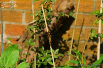 Dragonfly in Garden 26th May 2018 0004 Taken on 2018/05/26 16:36:16