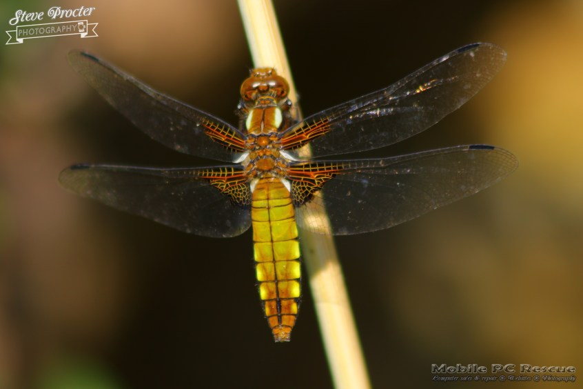 Dragonfly in Garden 26th May 2018 0031 Taken on 2018/05/26 16:39:29