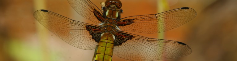 Dragonfly in the garden today
