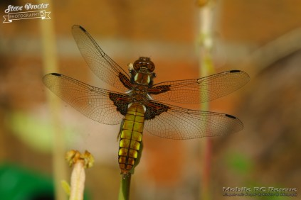 Dragonfly in Garden 26th May 2018 0065 Taken on 2018/05/26 16:47:19