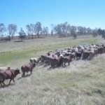 Cattle herding with drones takes off in Australia