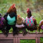 Woman Knits Tiny Sweaters For Rescued Chickens