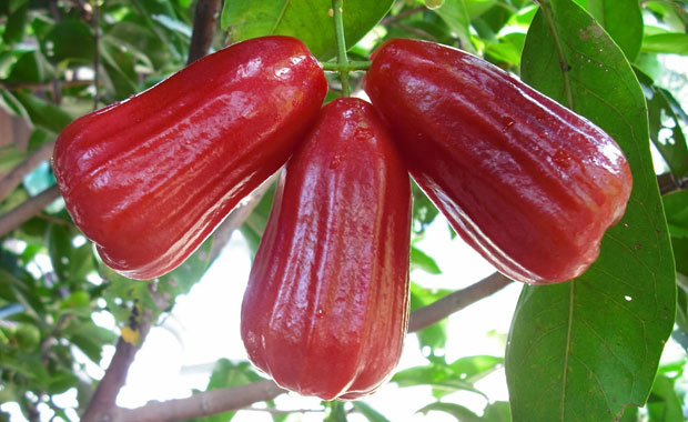 Jual Bibit Jambu Citra di Tegal