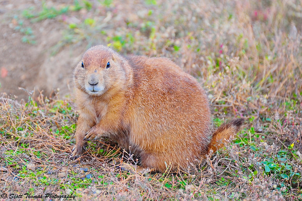 Black-tailed Prairie Dog in Theodore Roosevelt National Park in Medora, North Dakota.