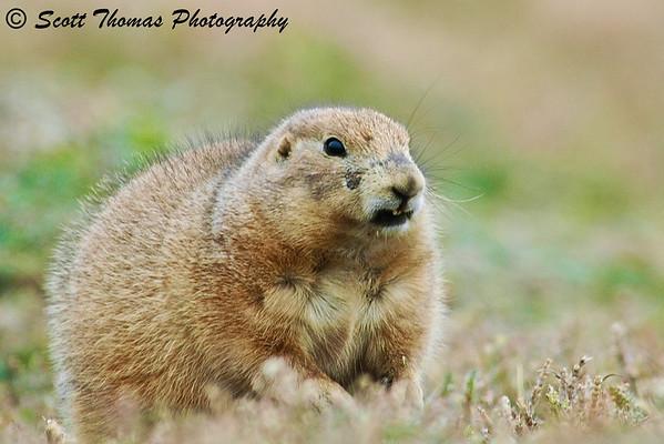 A prairie dog giving an approaching neighbor a bit of a threatening look.