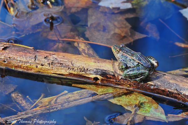 Leopard Frog enjoying the late November sunshine.