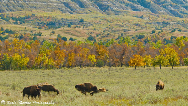 A herd of Bison grazing in the Theodore Roosevelt National Park's Northern section in North Dakota.