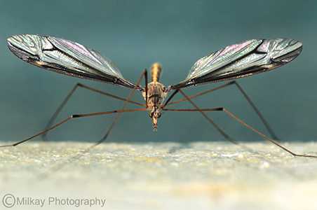 """She's so Fly"" (Crane Fly, Female)."