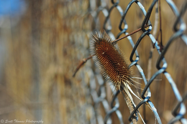 Don't fence me in!  A thistle poking through a fence.