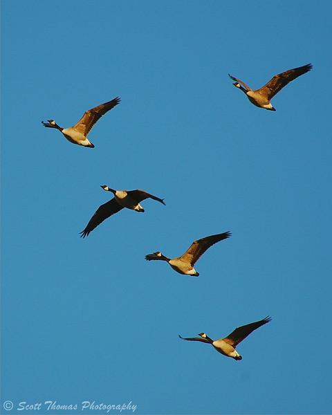 Flock of Canada geese flying over the Montezuma National Wildlife Refuge near Seneca Falls, New York.