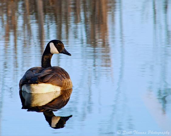 A Canada goose on a pond in the Montezuma National Wildlife Refuge near Seneca Falls, New York.