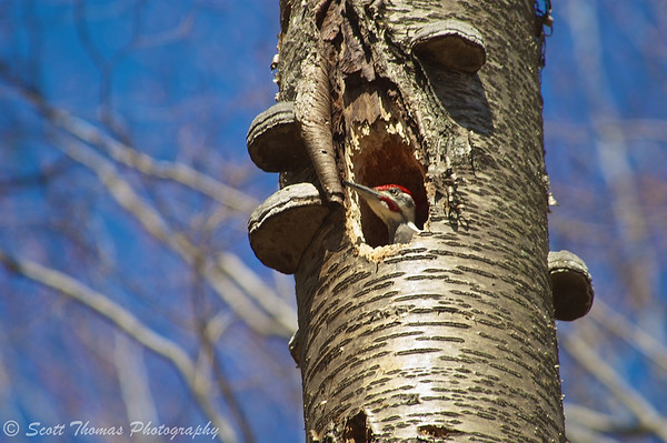 The head of a Pileated Woodpecker pops out of the hole in the dead yellow birch tree.