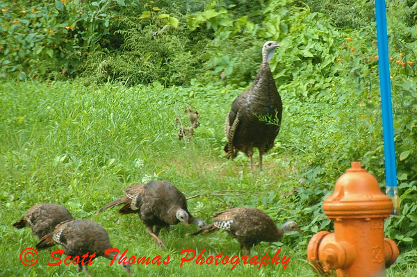Wild Turkey hen herding a group of poults (as young turkeys are called) outside my home.