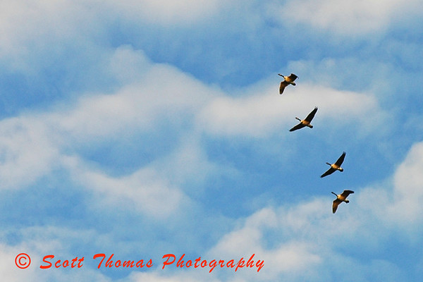 Canadian Geese flying over Beaver Lake near Baldwinsville, New York.