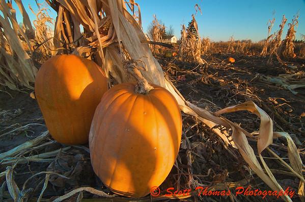 Pumpkins sitting in a field in November near Baldwinsville, New York.