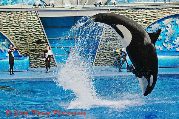 A Killer Whale leaps out of the water during the Sea World of Orlando show, Believe.