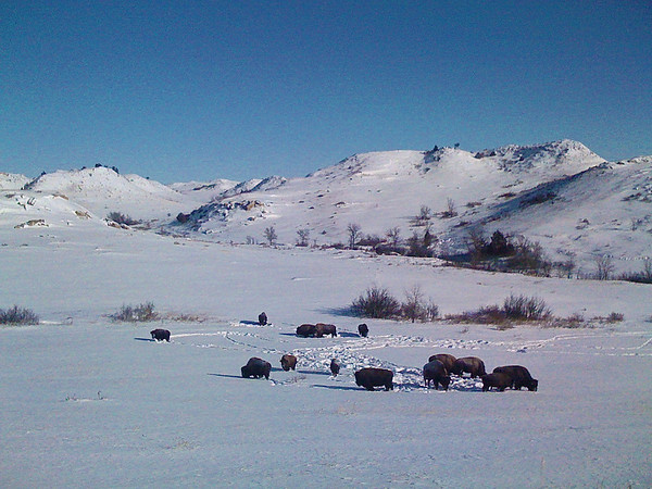 The herd of American Bison I photographed in the Theodore Roosevelt National Park.  I used my iPhone camera for this photo.