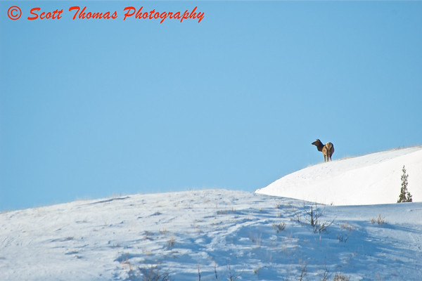 A lone Elk on a ridge in the Theodore Roosevelt National Park.