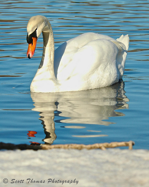 Swan on Webster Pond.