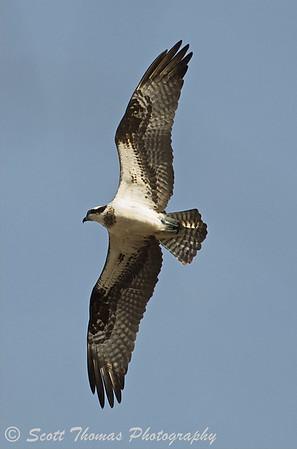 An Osprey (Pandion haliaetus) soaring over the Montezuma National Wildlife Refuge.