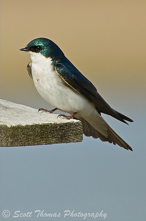 Tree Swallow (Tachycineta bicolor) on a nesting box near the Montezuma National Wildlife Refuge Visitor Center.