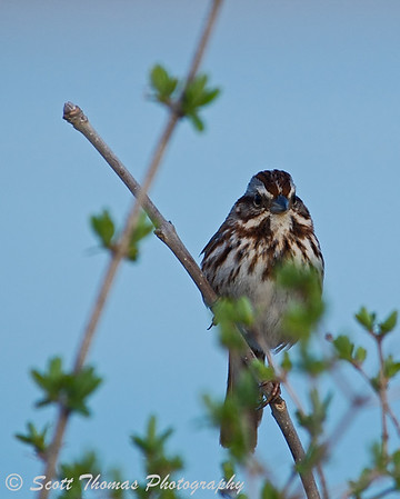 Song sparrow (Melospiza melodia) at the Montezuma National Wildlife Refuge.