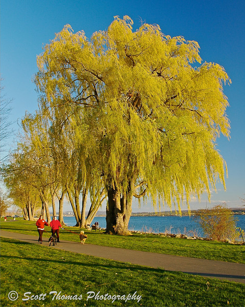A majestic Weeping Willow tree found in Onondaga Lake Park near Syracuse, New York. Willow trees require a lot of water as some species grow up to eight feet a year.