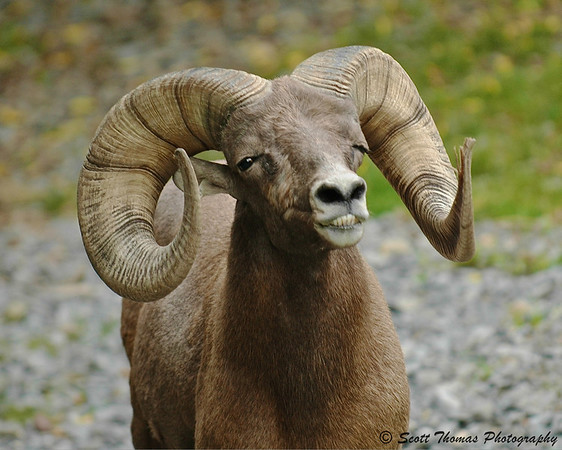 """A Bighorn Ram """"smiles"""" after his confrontation with another ram at the Rosamond Gifford Zoo in Syracuse, New York."""