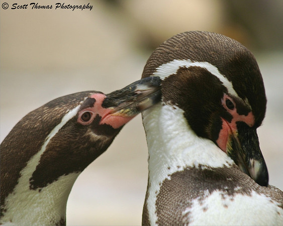Humboldt Penguins getting up close to each other.  Getting close and filling the frame is one way you can improve your photography overnight.