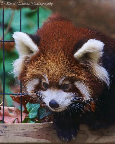 Zhin-Li, a young male Red Panda cub, at the Binghamton Zoo at Ross Park in Binghamton, New York.