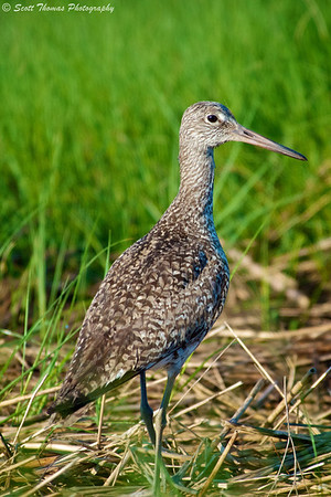 Eastern Willet (Tringa semipalmata) shorebird in the Forsythe National Wildlife Refuge near Absecon, New Jersey.