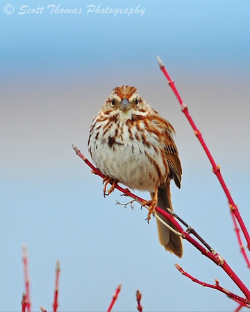 Song Sparrow (Melospiza melodia) perched at the Montezuma National Wildlife Refuge.
