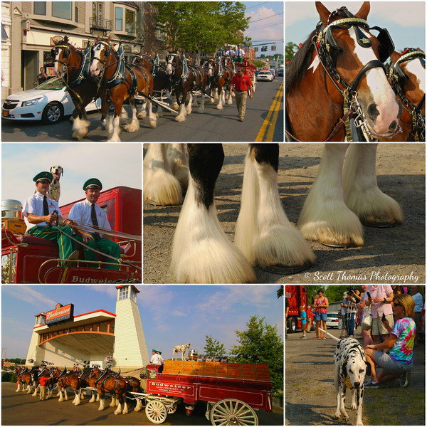 The Budweiser Clydesdales visit Baldwinsville, New York.
