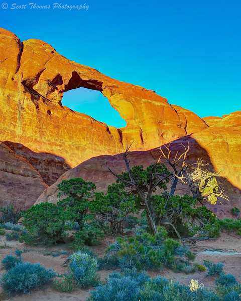 Pinyon Pine growing in the shadow Skyline Arch at Arches National Park near Moab, Utah.