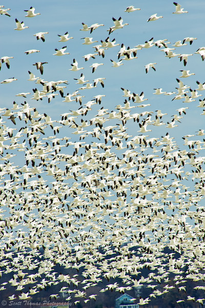 Snow Geese over Cayuga Lake near Seneca Falls, New York.